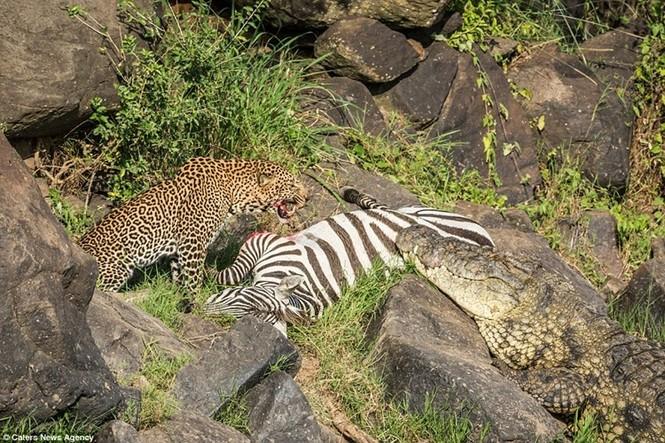 Mục kích cá sấu và báo đốm bao vây, truy sát ngựa vằn - ảnh 8