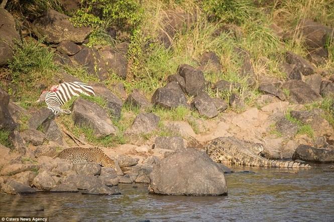 Mục kích cá sấu và báo đốm bao vây, truy sát ngựa vằn - ảnh 9
