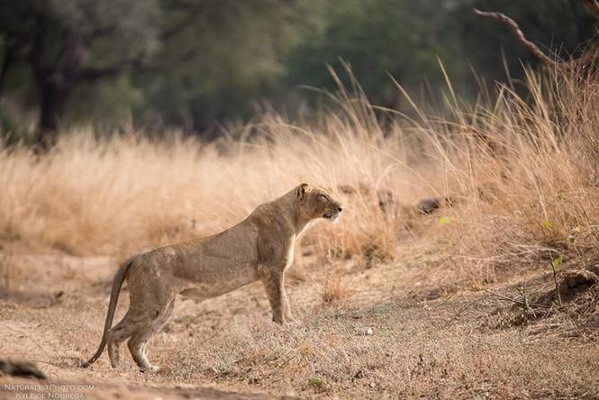 Sư tử cái sưng mặt vì dính đòn đá hậu của ngựa vằn - ảnh 1
