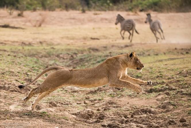 Sư tử cái sưng mặt vì dính đòn đá hậu của ngựa vằn - ảnh 3