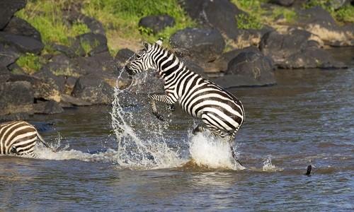 Thoát hàm cá sấu, ngựa vằn gục ngã dưới vuốt báo đốm - ảnh 1