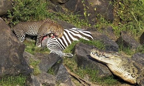 Thoát hàm cá sấu, ngựa vằn gục ngã dưới vuốt báo đốm - ảnh 3