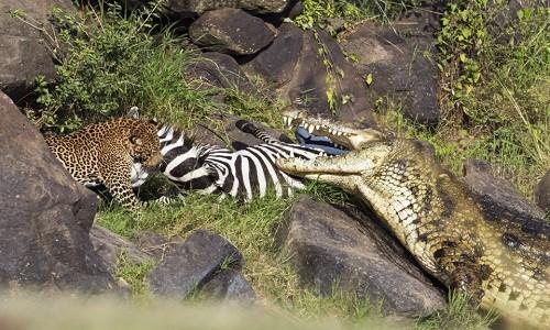 Thoát hàm cá sấu, ngựa vằn gục ngã dưới vuốt báo đốm - ảnh 4