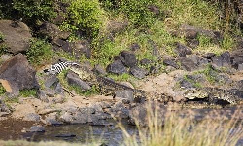 Thoát hàm cá sấu, ngựa vằn gục ngã dưới vuốt báo đốm - ảnh 5