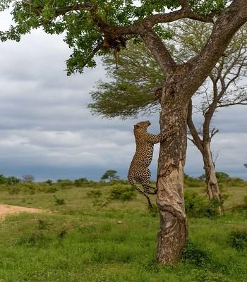 Báo đốm trèo cây lôi xác đồng loại xuống để ăn thịt - ảnh 1
