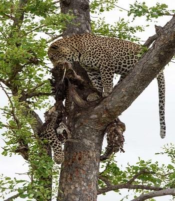 Báo đốm trèo cây lôi xác đồng loại xuống để ăn thịt - ảnh 2