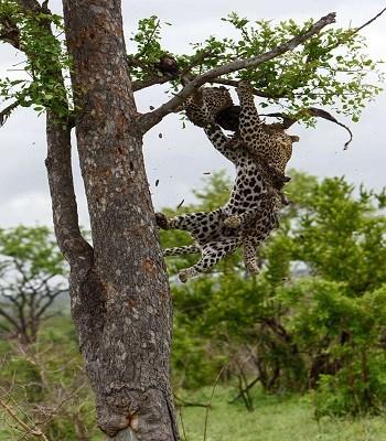 Báo đốm trèo cây lôi xác đồng loại xuống để ăn thịt - ảnh 3