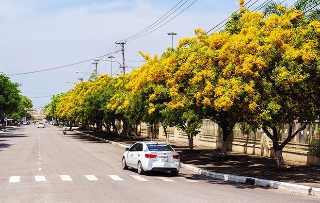 Những con đường hoa sưa vàng rực ở Quảng Nam - ảnh 1