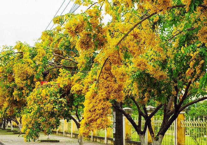 Những con đường hoa sưa vàng rực ở Quảng Nam - ảnh 2