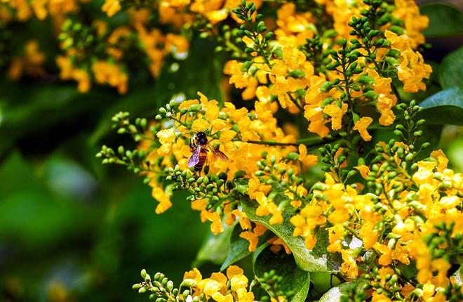 Những con đường hoa sưa vàng rực ở Quảng Nam - ảnh 3