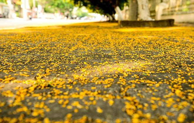Những con đường hoa sưa vàng rực ở Quảng Nam - ảnh 4