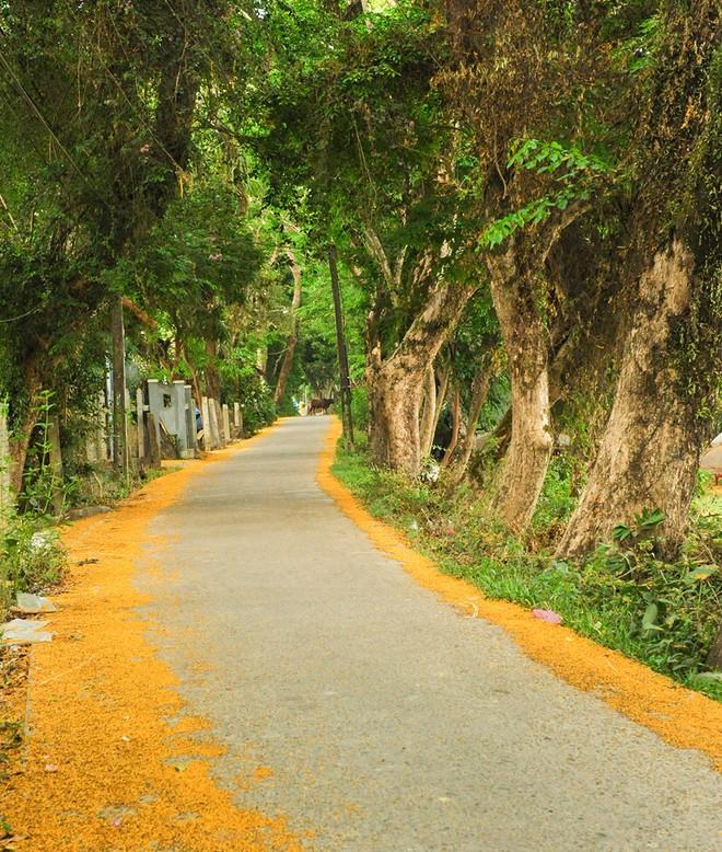 Những con đường hoa sưa vàng rực ở Quảng Nam - ảnh 8