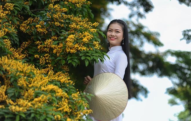 Những con đường hoa sưa vàng rực ở Quảng Nam - ảnh 9