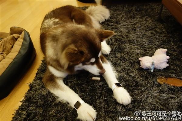 Con trai tỷ phú Trung Quốc đeo Apple Watch cho chó - ảnh 1