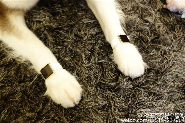 Con trai tỷ phú Trung Quốc đeo Apple Watch cho chó - ảnh 2