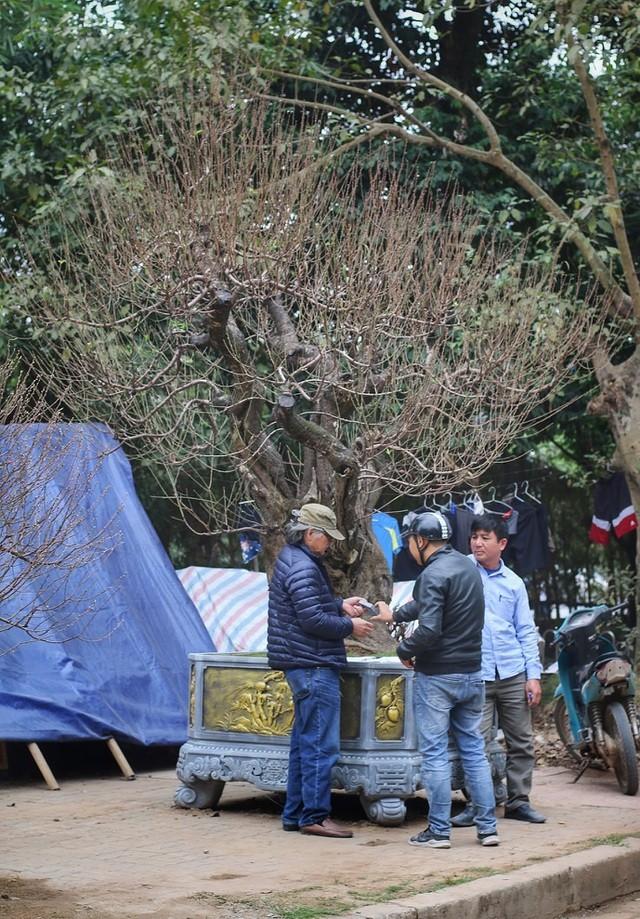 Nhìn gần gốc đào rừng trăm tuổi, nặng hơn 1 tấn ở Hà Nội - ảnh 11
