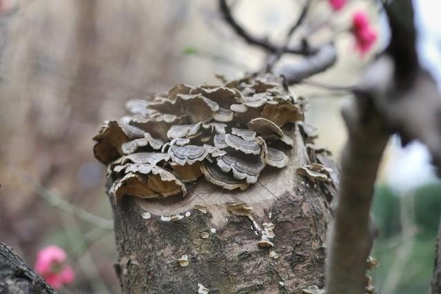 Nhìn gần gốc đào rừng trăm tuổi, nặng hơn 1 tấn ở Hà Nội - ảnh 4