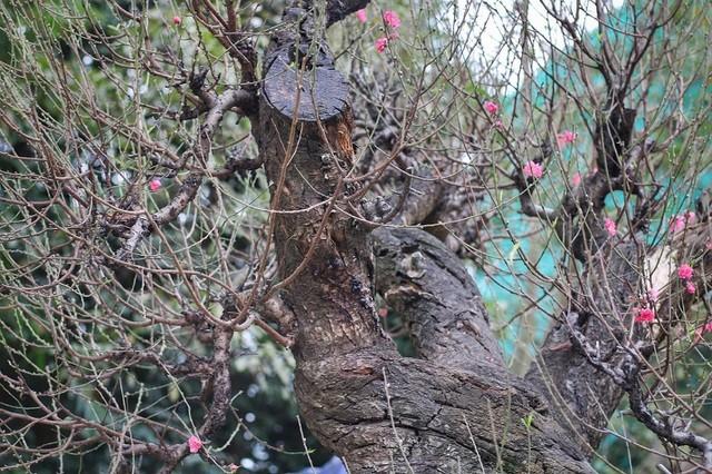 Nhìn gần gốc đào rừng trăm tuổi, nặng hơn 1 tấn ở Hà Nội - ảnh 5