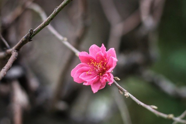 Nhìn gần gốc đào rừng trăm tuổi, nặng hơn 1 tấn ở Hà Nội - ảnh 8