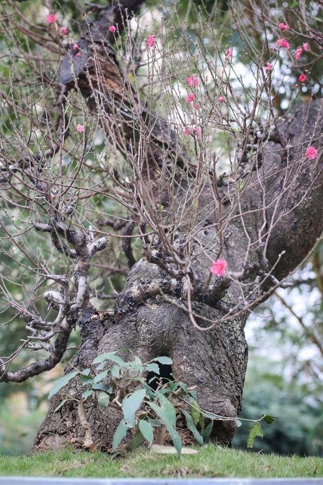 Nhìn gần gốc đào rừng trăm tuổi, nặng hơn 1 tấn ở Hà Nội - ảnh 9