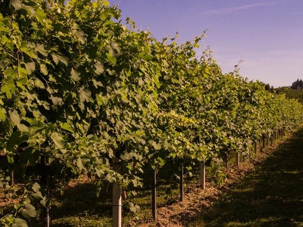 Một góc vườn nho của nhà máy rượu Lambrusco Grasparossa.