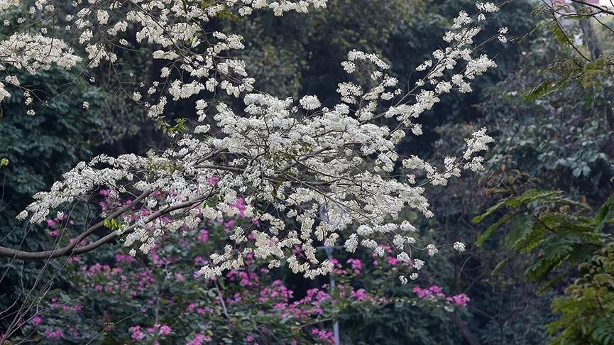 Hoa sưa nở bung trắng khoảng trời Hà Nội dịp thượng đỉnh Mỹ - Triều - ảnh 2