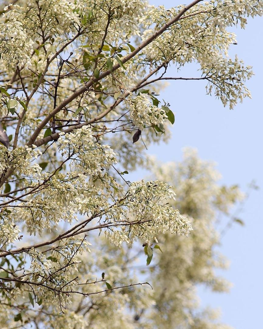 Hoa sưa nở bung trắng khoảng trời Hà Nội dịp thượng đỉnh Mỹ - Triều - ảnh 5