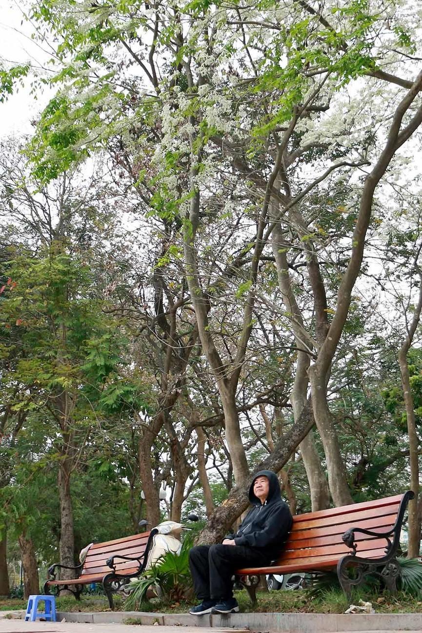Hoa sưa nở bung trắng khoảng trời Hà Nội dịp thượng đỉnh Mỹ - Triều - ảnh 7