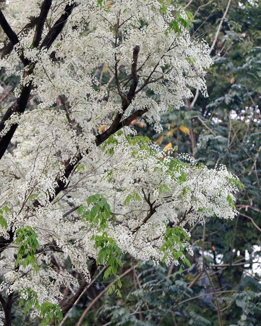 Hoa sưa nở bung trắng khoảng trời Hà Nội dịp thượng đỉnh Mỹ - Triều - ảnh 8