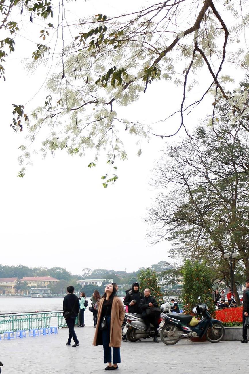 Hoa sưa nở bung trắng khoảng trời Hà Nội dịp thượng đỉnh Mỹ - Triều - ảnh 12