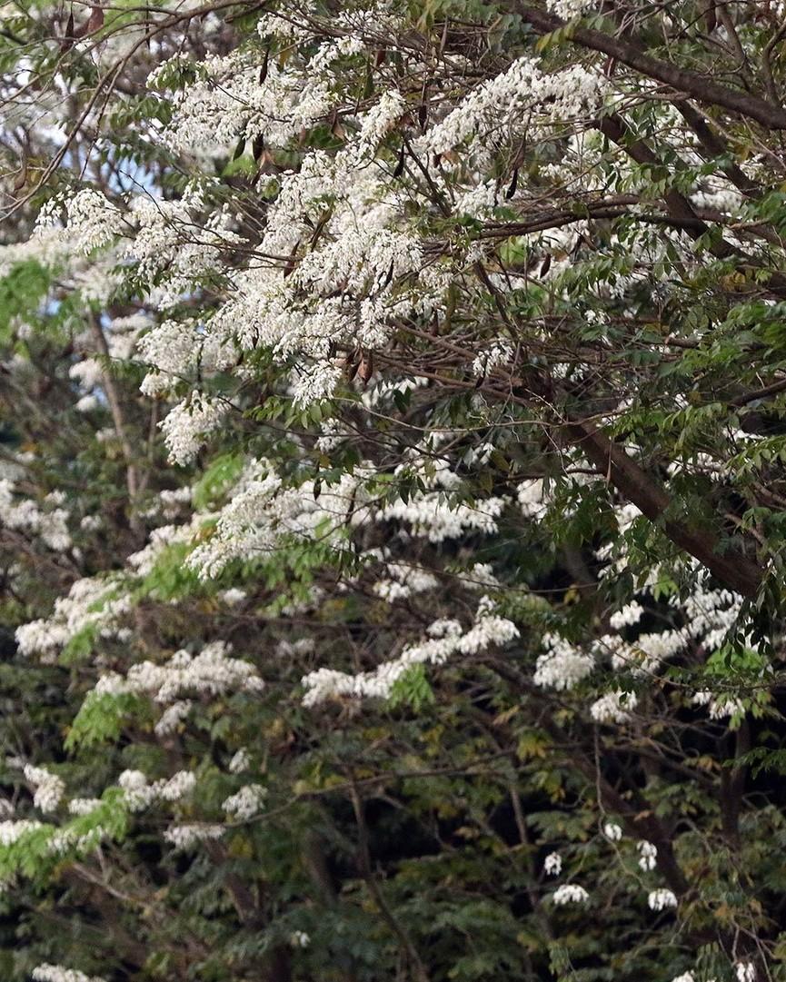 Hoa sưa nở bung trắng khoảng trời Hà Nội dịp thượng đỉnh Mỹ - Triều - ảnh 14