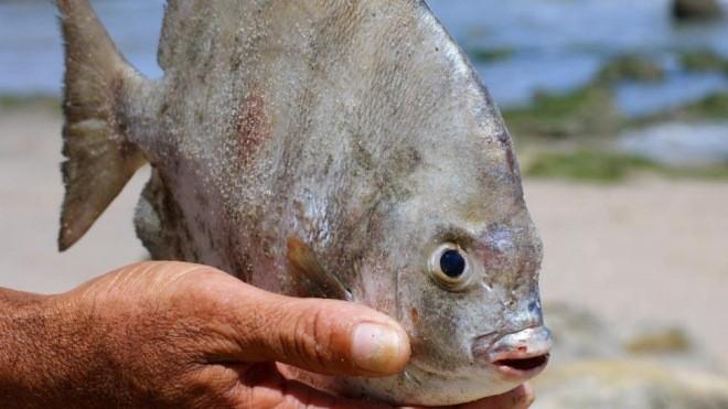Loài cá ăn tinh hoàn Nam Mỹ đã xuất hiện ở nước Nga