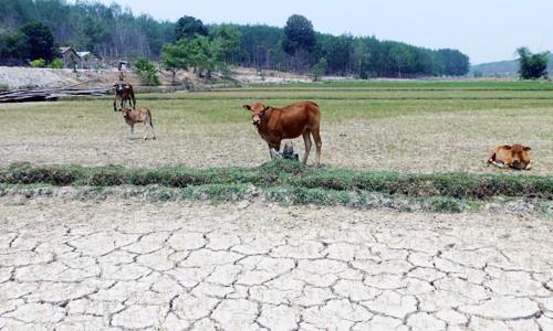 Những cánh đồng nứt nẻ, lúa khô héo để bò ăn ở Tây Nguyên. Ảnh: Nhật Hạ