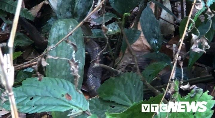 Một con rắn độc khoanh tròn phơi nắng giữa lối đi chẳng sợ người.