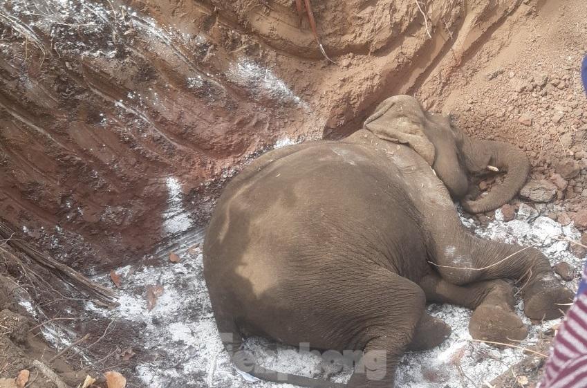 Con voi vừa chết, cơ quan chức năng đã đưa đi an táng