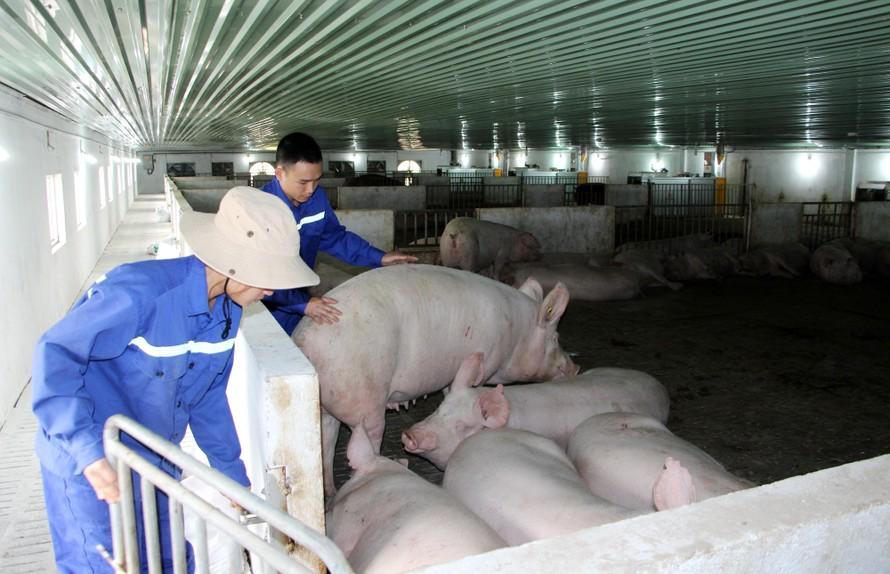 Nhờ đầu tư bài bản và tuân thủ nghiêm ngặt các quy định về chăn nuôi an toàn sinh học, Thiên Thuận Tường đã bảo vệ thành công đàn lợn của mình trước dịch tả lợn châu Phi