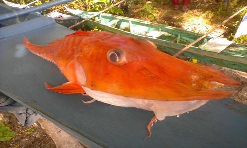 Ngư dân Philippines bắt được con cá lạ có lớp vỏ cứng màu cam. Ảnh: Eugene Sadiasa Mayor.